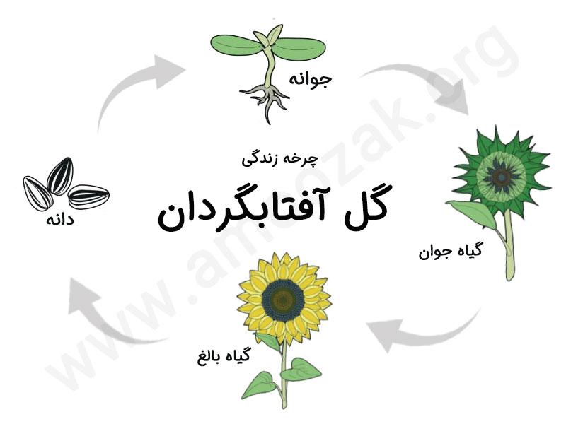 فعالیت چرخه زندگی گل آفتابگردان